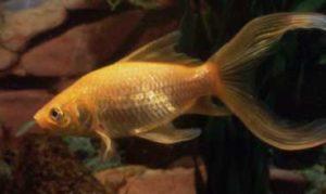 Золотая рыбка-комета серебристая