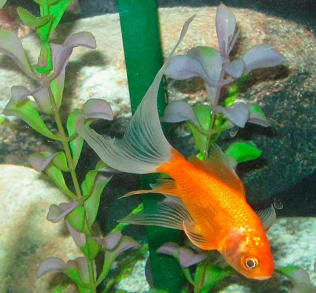 фото комета золотая рыбка