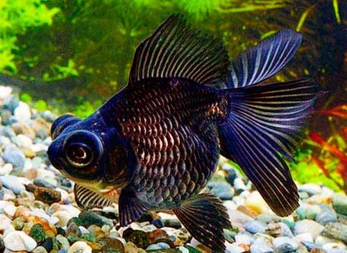 Картинки по запросу Золотая рыбка – телескоп