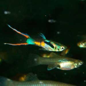 гуппи эндлера самец и самка