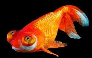 Картинки по запросу Золотая рыбка – Звездочет