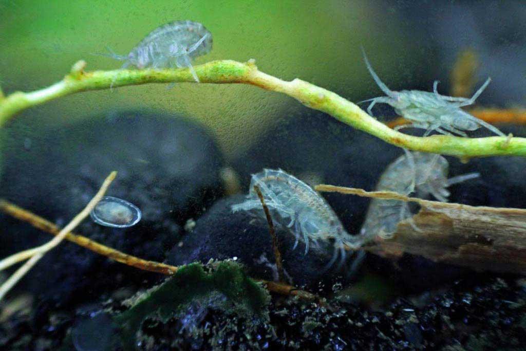 рачок бокоплав в аквариуме