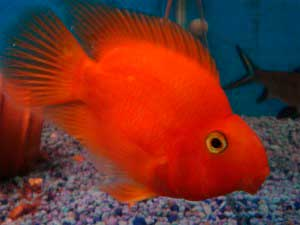 Cichlid Red-Parrot