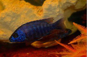Chaplochromis