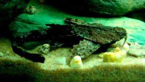 bunocephalus_bicolor