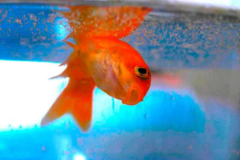 шок у рыбки