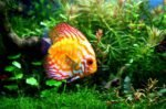 Discus and aquatic plants